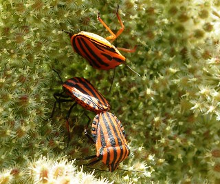 Bugs La Nucia Spain - Graphosoma lineatus | by Ron in Blackpool