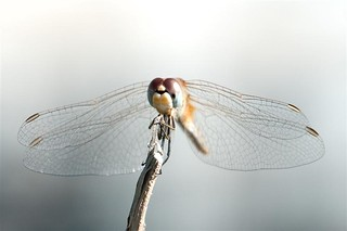 Dragonfly (disambiguation). | by ermora