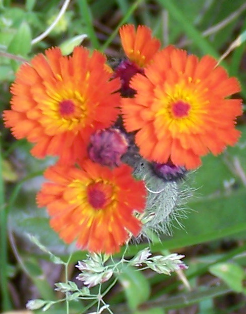 Orange Hawkweed or Devil's Paintbrush (Hieracium aurantiacum)