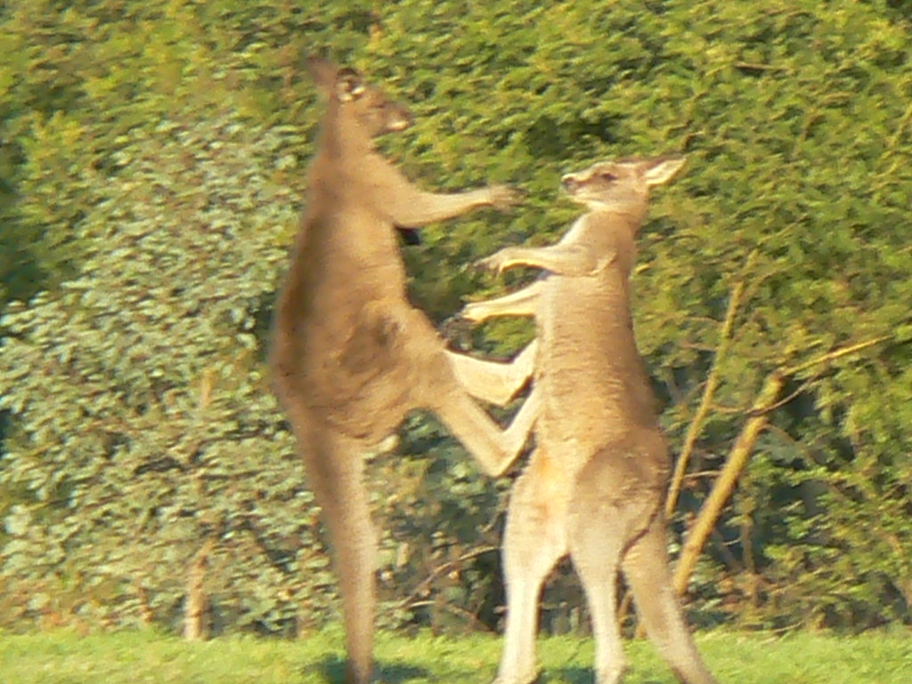 Two Large Male Eastern Grey Kangaroos Stage a Kick Boxing