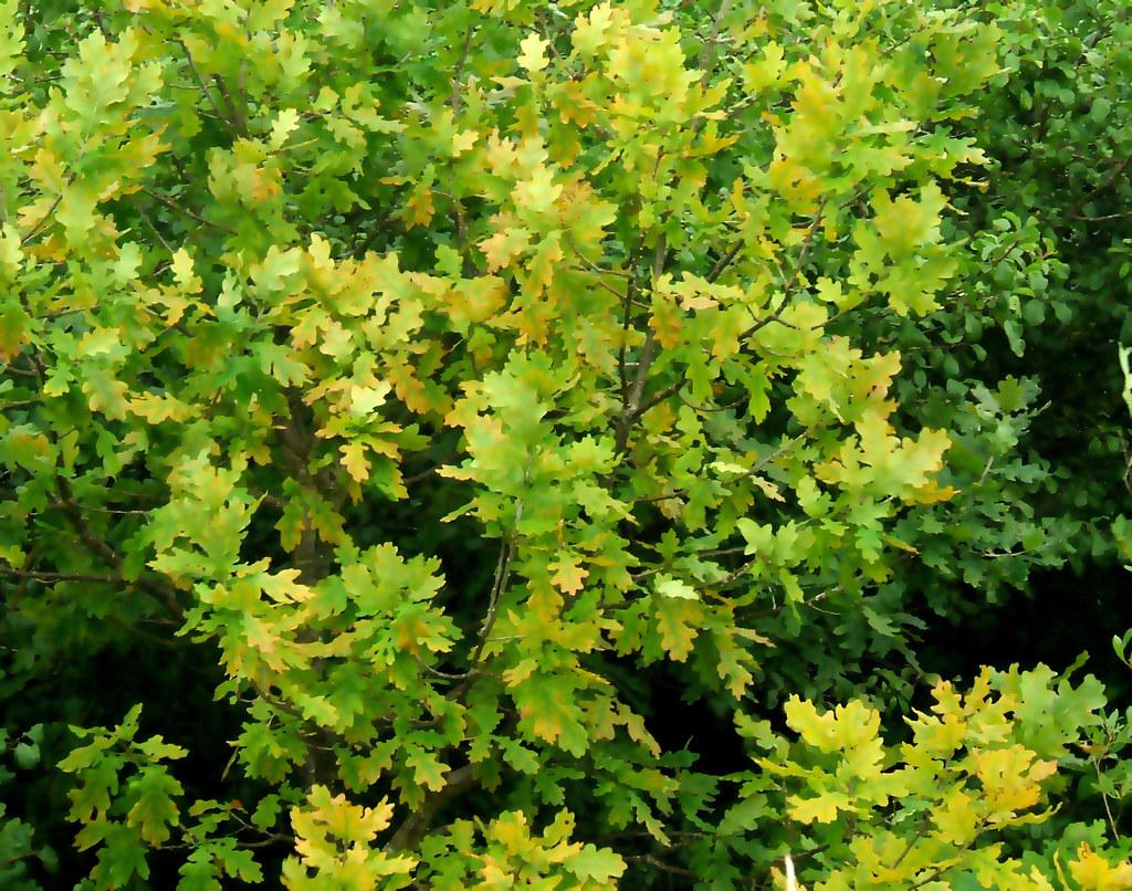 oak tree leaves adobe photoshop