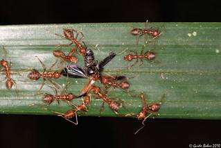 Weaver ants dismantle a Soldier beetle | by gbohne