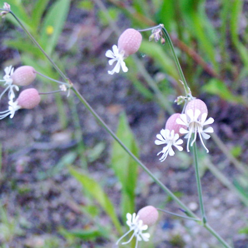 Bladder Campion (Silene cucubalus)