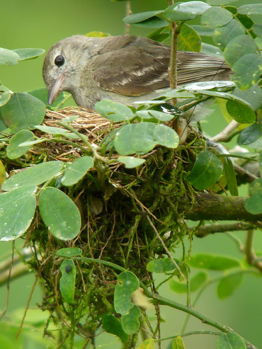 settling in on nest | by Jeff's Digiscoped Wildlife pics