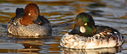 goldeneye duck pair | by LHG Creative Photography