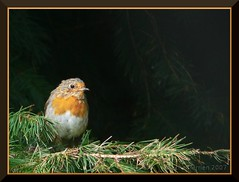 Rougegorge / Robin (Erythacus rubecula) | by zogt2000 (No Video)