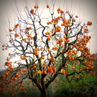 Diospero - Persimmon Tree | by giagir