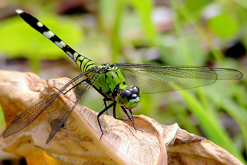 Common Pondhawk | by Dixie Native