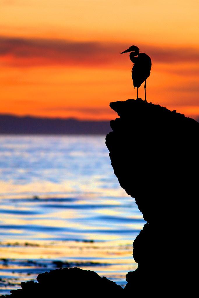 elegant egret silhouette at sunset little corona corona flickr
