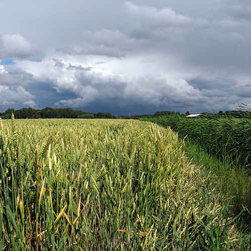 stormy weather and wheat | by doc(q)man