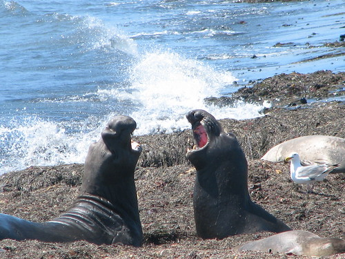 Elephant Seal Sparring | by Jocie SF