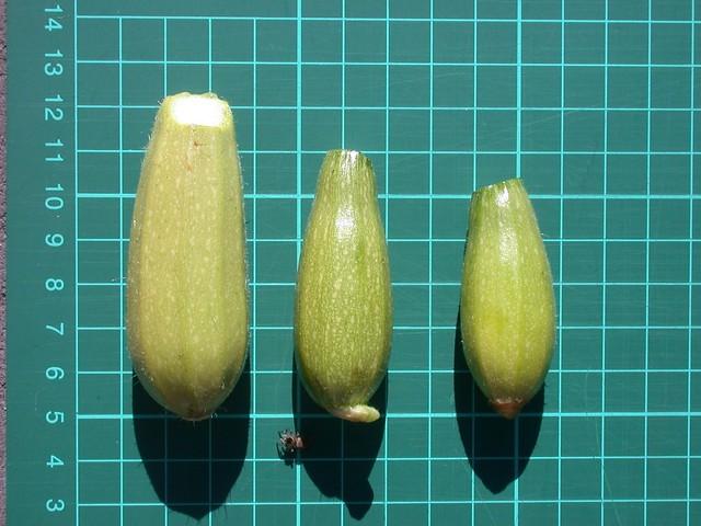 Zucchini-Tri-Lebanese-0653