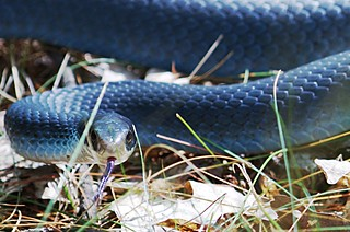 blue racer (#122) | by j / f / photos