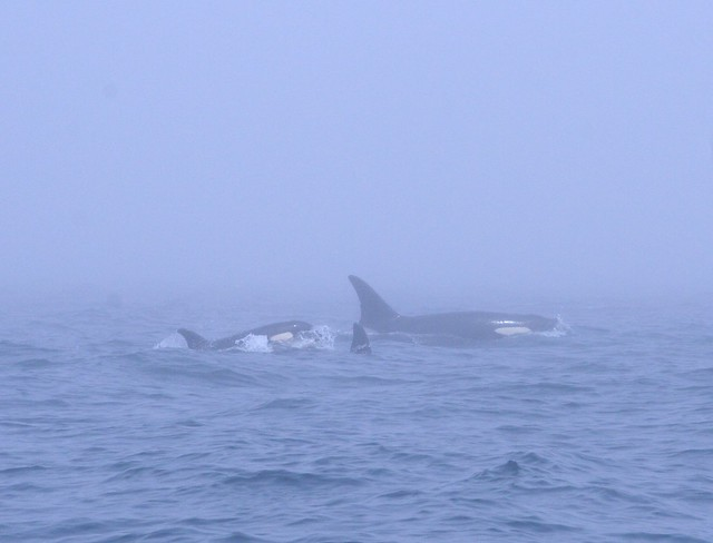 Orcas swimming in the foggy waters off the San Juan Islands, WA