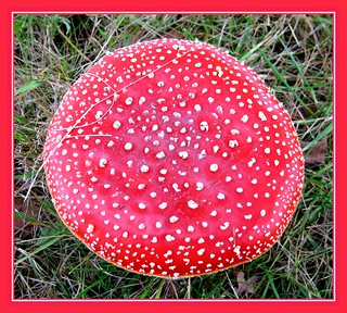 30sept07: mushroom white and red.... | by guus timpers