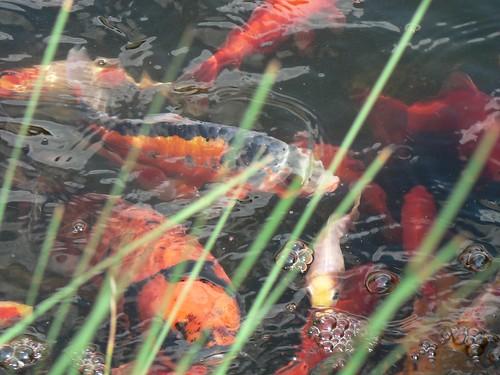 Carpe ko et poissons rouges de mon bassin st etienne flickr - Bassin plastique pour poisson saint etienne ...