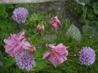 Pink columbine and chives | by fotrristi