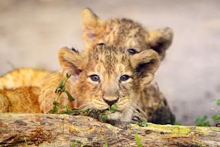 Two lion cubs | by Tambako the Jaguar