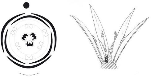 diagramme et coupe de merandera filifolia l  colchicaceae