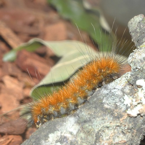 08137 Virginian Tiger Moth caterpillar | Spilosoma ...