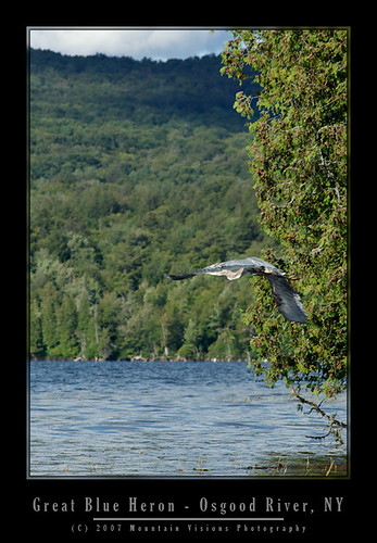 Great Blue Heron entering Meacham Lake | by Mountain Visions