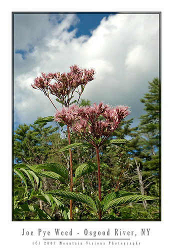 Joe Pye Weed On The Osgood River | by Mountain Visions