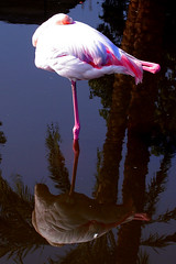 Flamingo | by John FotoHouse