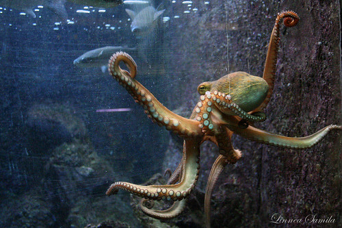 Octopus vulgaris | by Linnea S.