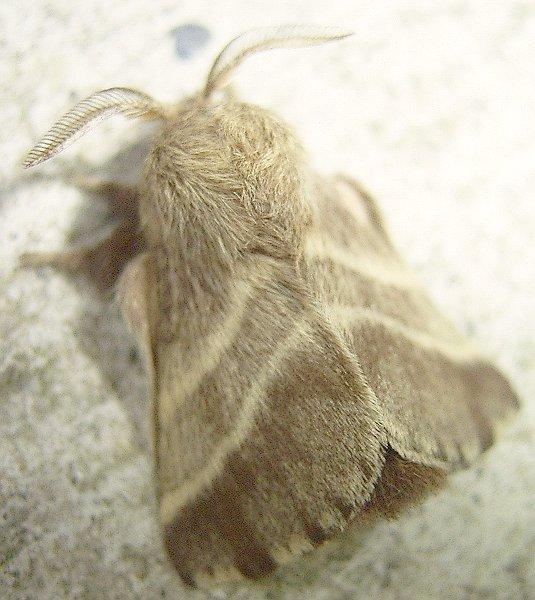 Eastern Tent Moth