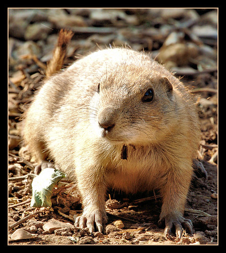 Prarie dog | by david_phil