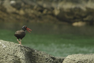 Oyster Catcher | by Annie Chubson