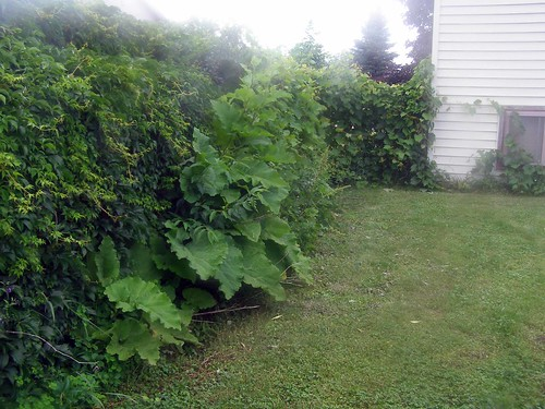 how to get rid of ivy on fence