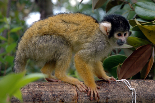 Squirrel Monkey 5 | by Tristan27