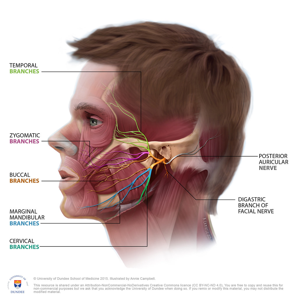 Head Anatomy Facial Nerve With Labels By Annie Campbell Flickr