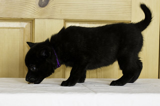 Kumi-Litter5-Day37-Puppy6-Female-c | by brada1878