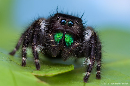 Phidippus audax Female jumping Spider | by Thomas Shahan
