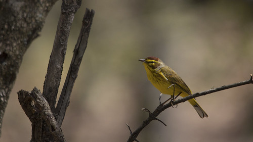Palm Warbler | by Birding In New Jersey