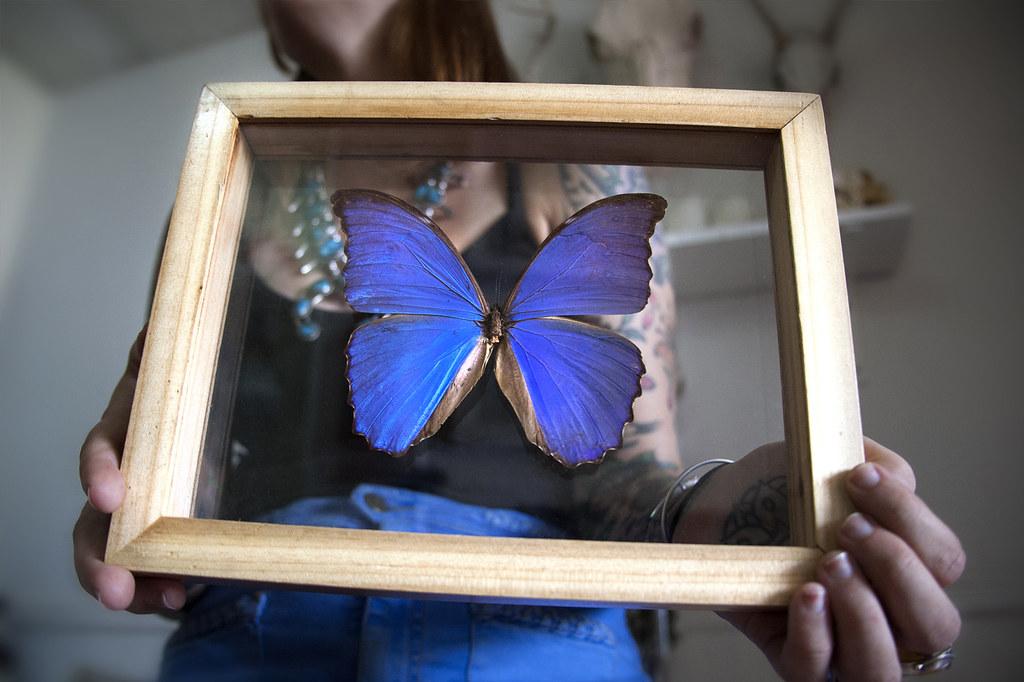 ... Brooklyntaxidermy Real Blue Morpho Butterfly Framed | By  Brooklyntaxidermy