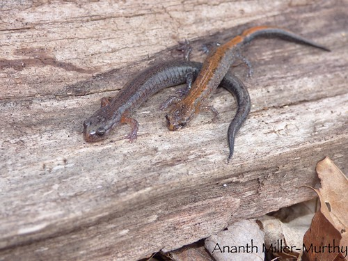 Northern Zigzag Salamanders | by Ananth Miller-Murthy