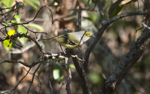 White-eyed Vireo | by Birding In New Jersey