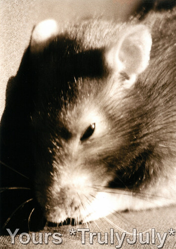 Rattie Portraits: Grooming | by trulyjuly