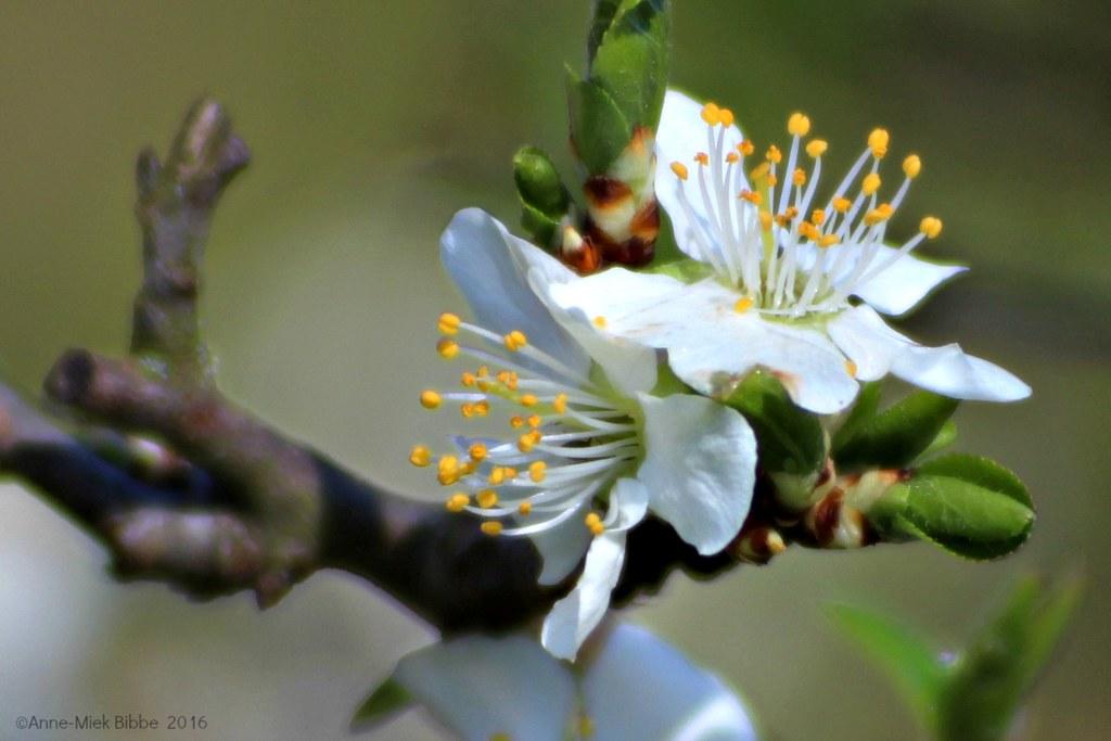 Pruimenbloesem Plum Blossom Fleur De Prunier Plum Blos Flickr