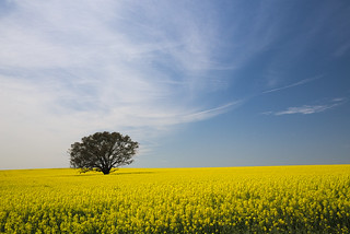 Fields of Canola | by peter.lavender