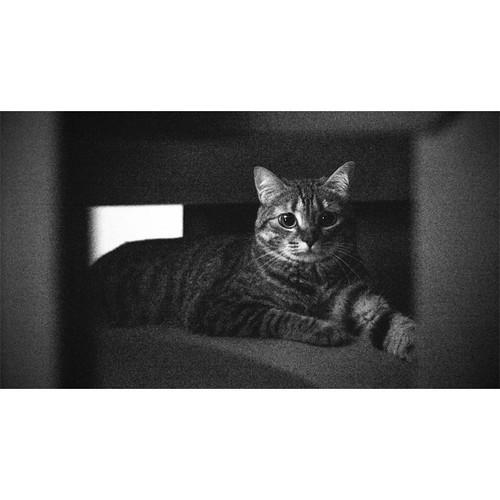 Amy. #cat #lovecats #photography #bandw #blackandwhite #sh ...