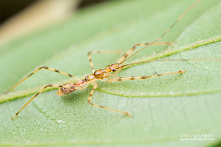 Assassin bug nymph (Reduviidae) - DSC_6554