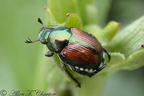Popillia punctata (Japanese Beetle)