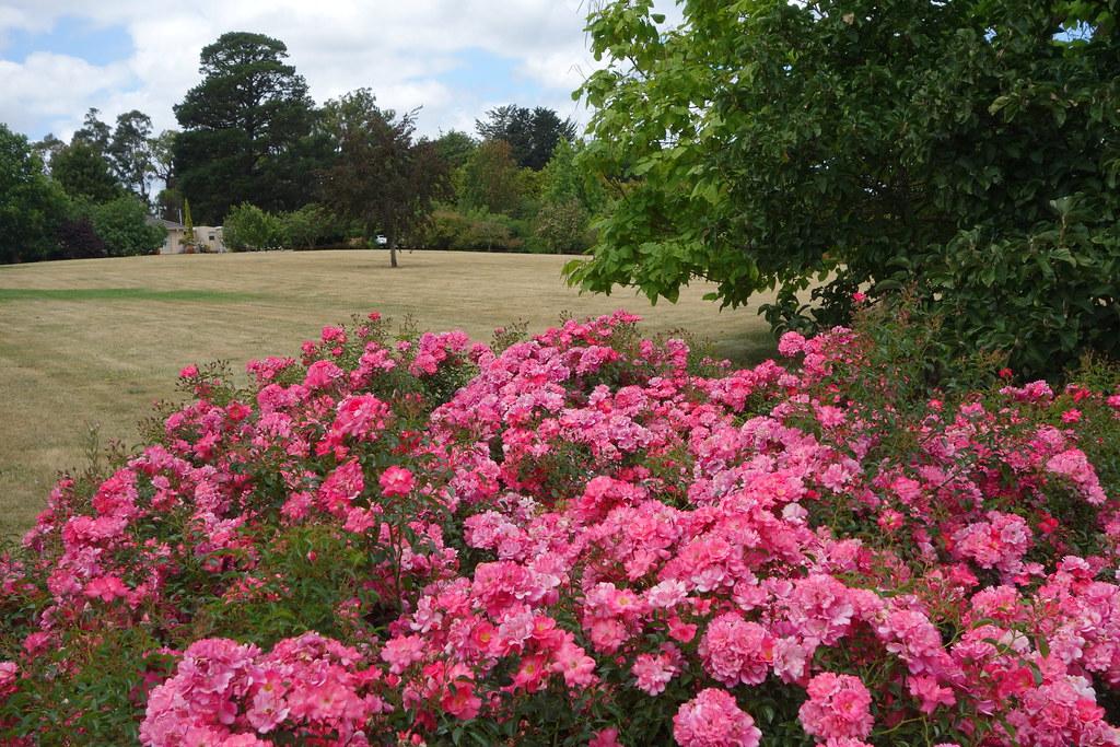 Flower carpet pink supreme in au drought 2 flower carpet r flickr flower carpet pink supreme in au drought 2 by anthony tesselaar plants mightylinksfo