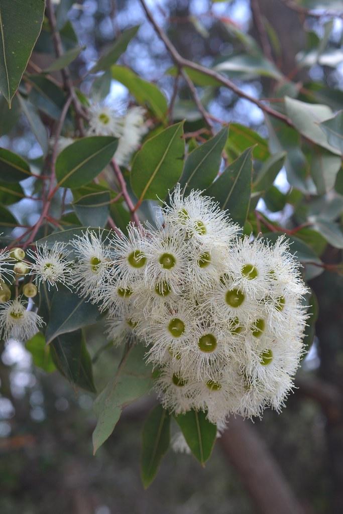 White flowering gum tree selina loveday flickr white flowering gum tree by pics2love1 mightylinksfo