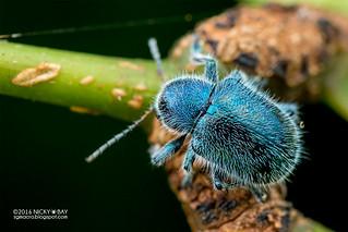 Leaf beetle (Trichochrysea hirta) - DSC_4941