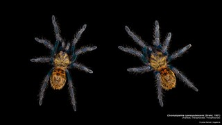 Chromatopelma cyaneopubescens Poster 8K | by mygale.de